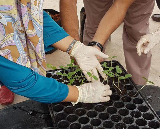 Rockmelon Training using Fertigation Technology